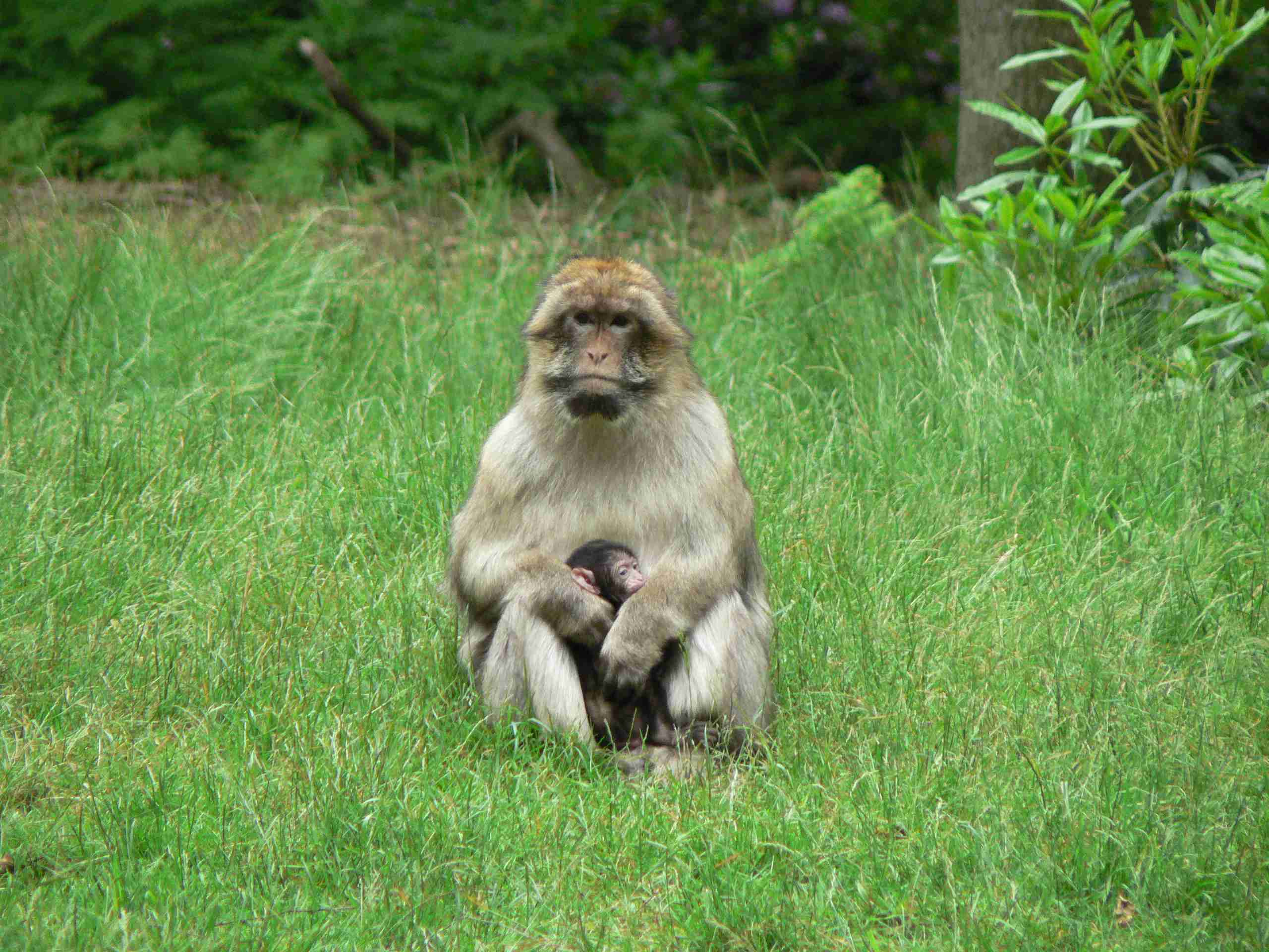 macaque monkey at the Monkey Forest in Staffordshire